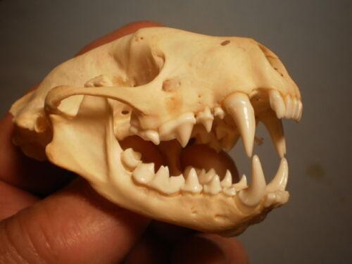 Taxidermy SKULL Skunk clean specimen nice  HUGE 3    inches great teeth