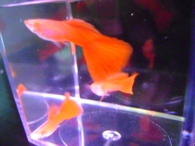 SUPERIOR FULL RED RREA GUPPY 8+ YOUNGSTERS, MIX SEXES AWESOME DEEP RED GUPPIES