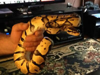 Female Pastel & Male Spider Ball Pythons with Enclosure