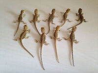 baby bearded dragons for sale (starter kits available)