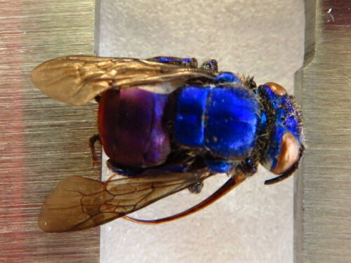 HYMENOPTERA BLUE & PURPLE BEE SP RARE UNMOUNTED FROM PERU AMAZING COLORS