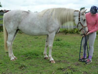 13 yr old Mare Reg'd with TWH and SSHBEA Kawartha Lakes Peterborough Area Preview