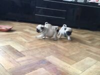 Pug Puppies for sale KC Reg