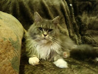 Maine coon kittens(boy&girl) Price is for both