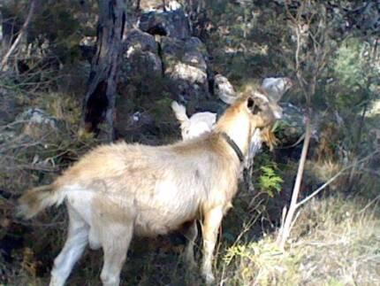Purebred Male Toggenburg Goat Glencoe Glen Innes Area Preview