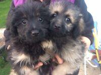 Pomapoo puppys. Ready now