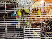 Canaries and Love Birds for sale