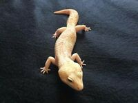 Selling Complete Leopard Gecko Set Up- VivExotic Repti Stack Mussel vivs & 6 geckos