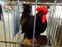 Maran Rooster & Others Available