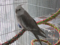2 male whiteface cockatiels