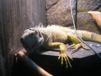 green iguana and large viv for sale