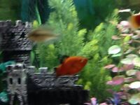 Tropical fish baby platty's for sale £1
