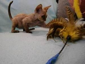 Devon Rex  Kittens For Sale