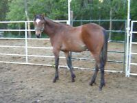 TopQuality Yearlng Colt Athletic GamesPerformnce/Halter Prospect