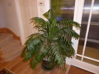 Potted palm for sale