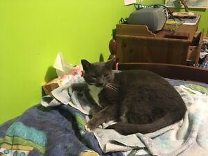 Chatte cherche une maison/Cat looking for a new home Gatineau Ottawa / Gatineau Area image 1