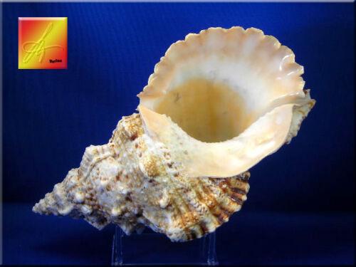 "X-Large Pacific Lampas Shell Seashell 9""+  Beach Cottage Decor (Frog Bursa)"