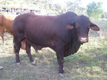 Droughtmaster Bull Tallebudgera Gold Coast South Preview