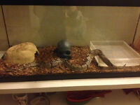 4½ ft Normal Male Ball Python and Full Set-up