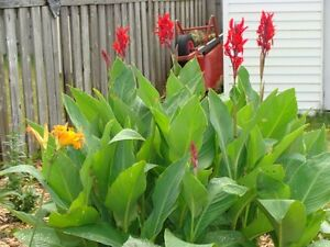 Large Healthy Red Canna Tubers - Time to Plant! White Callas too