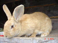 Pedigreed young flemish giant doe bred june 30th