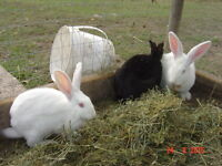 3 newzealand does 2 bred to flemish giant