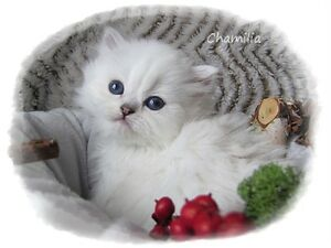 Chaton Persan / Persian kitten
