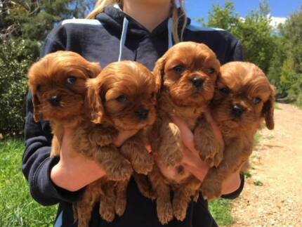 GORGEOUS DESEXED PUREBRED RUBY MALE CAVALIER PUPPIES
