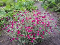 Lychnis and perennials