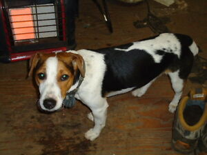 MISSING TRI COLORED JACK RUSSELL TERRIER
