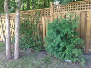 10 small, 4-5 foot swamp cedar (white cedar) trees