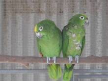 Yellow crowned Amazon bonded pair Maitland Maitland Area Preview