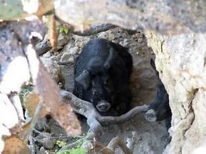Hunt for Trophy Boar in Texas!