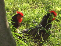 Chicken: Jersey Giant Rooster's