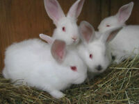 Bebes lapins nouvelle-zelande PURE RACE