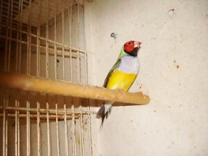 Gouldian Finches London Ontario image 10