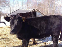 Dexter Cattle: Heifers and Cows