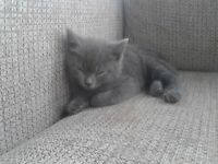 Looking for all grey female kitten