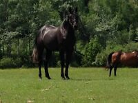 STUNNING 3 YEAR OLD HUNTER or PLEASURE FILLY FOR SALE