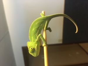 Juvenile Veiled Chameleons For Sale