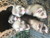 ferret kits for sale ready now
