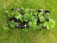 a tray of 10 strawberry plants