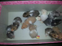 Baby Hamsters To Good Homes