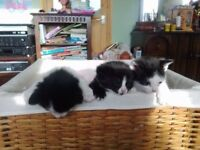 Kittens - Tabby / Black & White / Black
