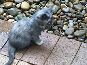 Kittens for sale Theresa Park Wollondilly Area Preview