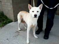 KLAWS:FOUND by CKL Bylaw,Ellice St,Fenelon Falls male white dog