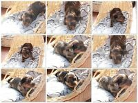 2 beautiful mini dachshund puppies - gorgeous long coats