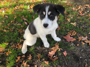 husky mix puppies in surrey