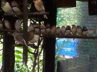 Zebra Finches - Job lot-SOLD