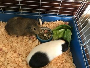 Guinea Pigs - Free to good home